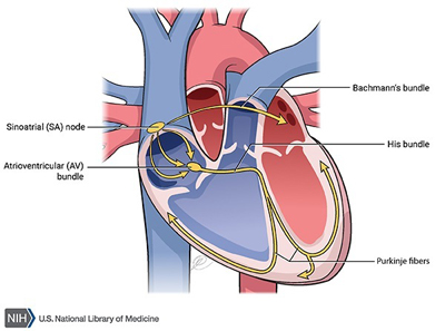 parts of heart showing chambers and valves