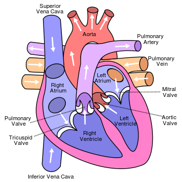 What are the parts of the heart?
