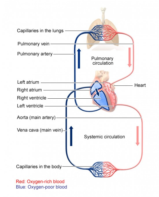 What Is The Path Of Blood Through The Circulatory System
